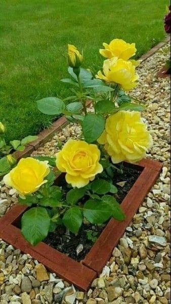 decoracion con rosas amarillas en el jardin - Casa Web