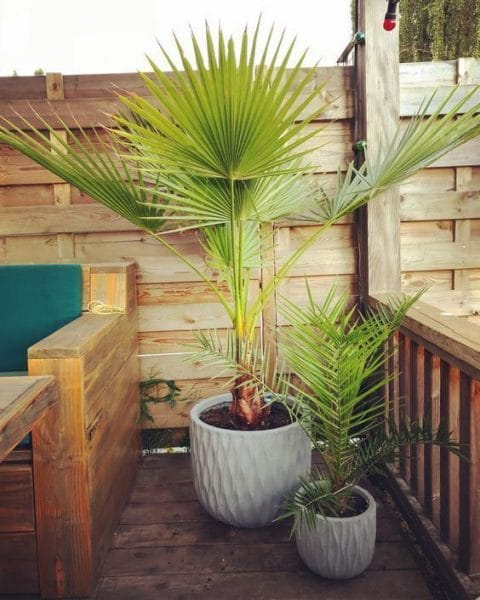 decorar jardines con palmeras ornamentales Washingtonia