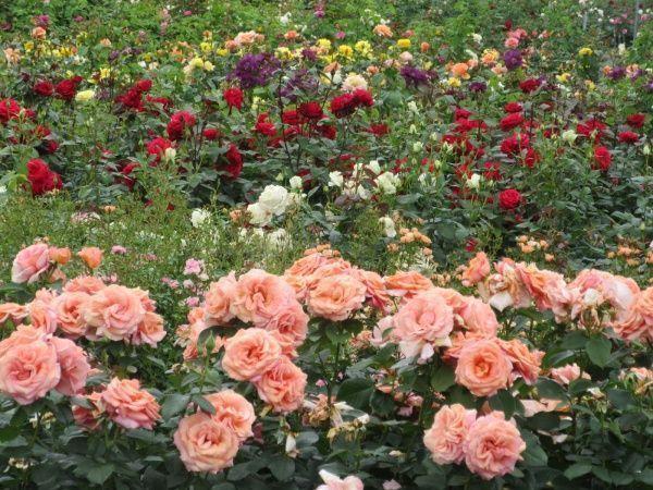 jardin de rosa