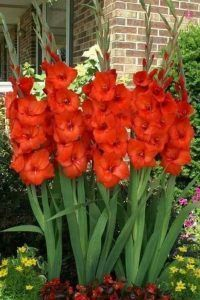 plantas ornamentales con flor gladiolos
