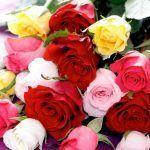 rosas para jardines