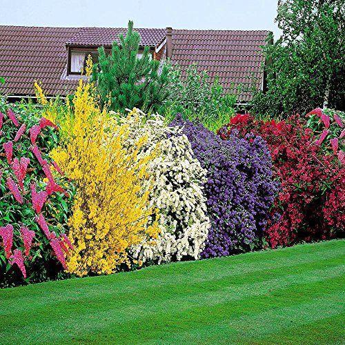 Arbusto perennes de crecimiento rapido casa web - Arbustos perennes con flor ...