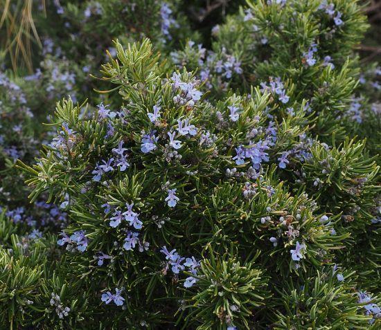 el romero como planta ornamental