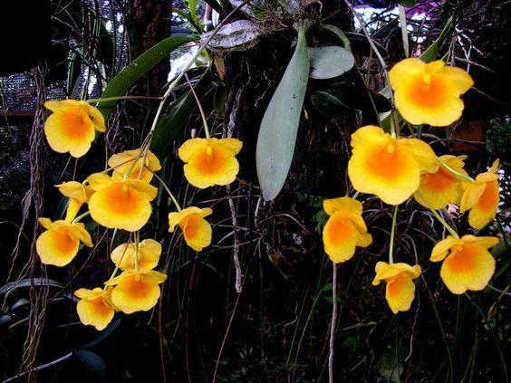 Dendrobium orquidea