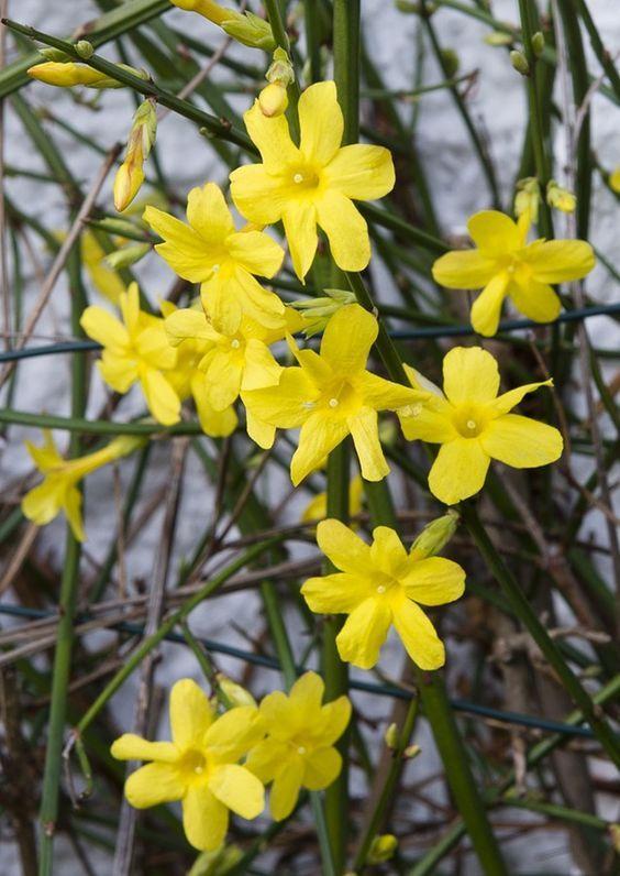 Jazmín de invierno Jasminum Nudiflorum