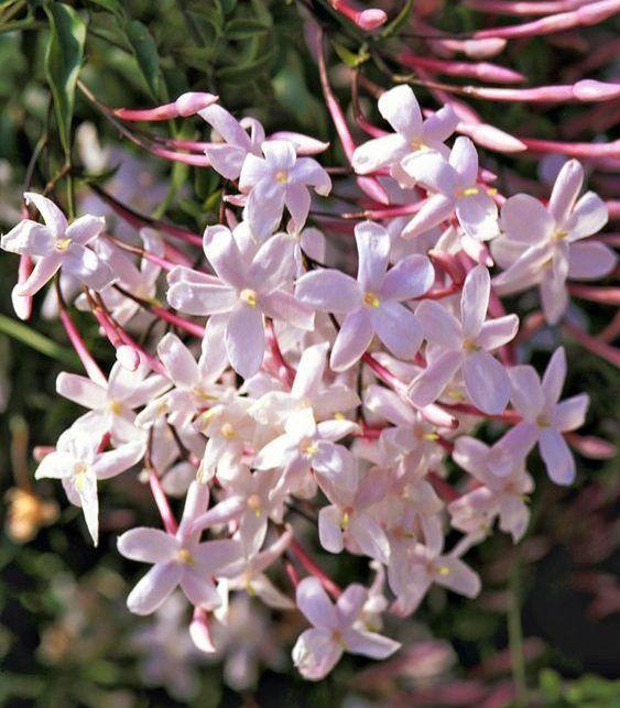 Jazmín oloroso Jasminum grandiflorum