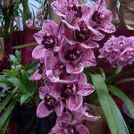 Orquidea Cymbidium ramillete de flores