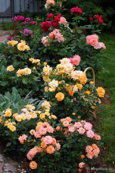 cantero de jardin con rosas de colores variados