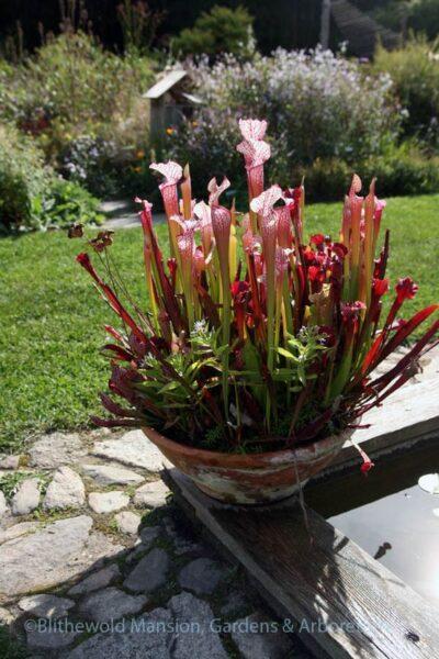 Sarracenias planta carnivora