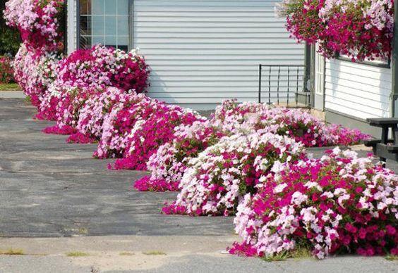 canteros de jardin con petunias