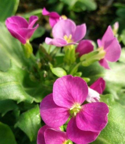 flor de arabis rosada