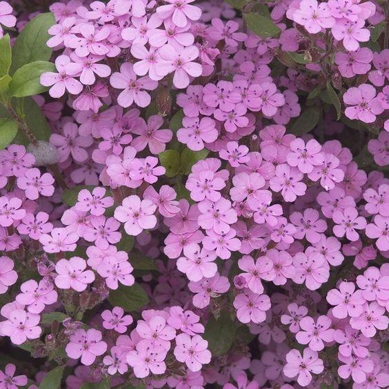 flor de la alborada Saponaria ocymoides