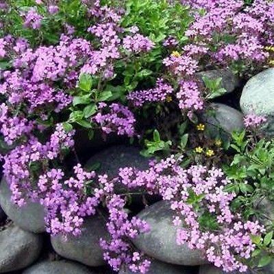 la alborada planta que crece entre las piedras