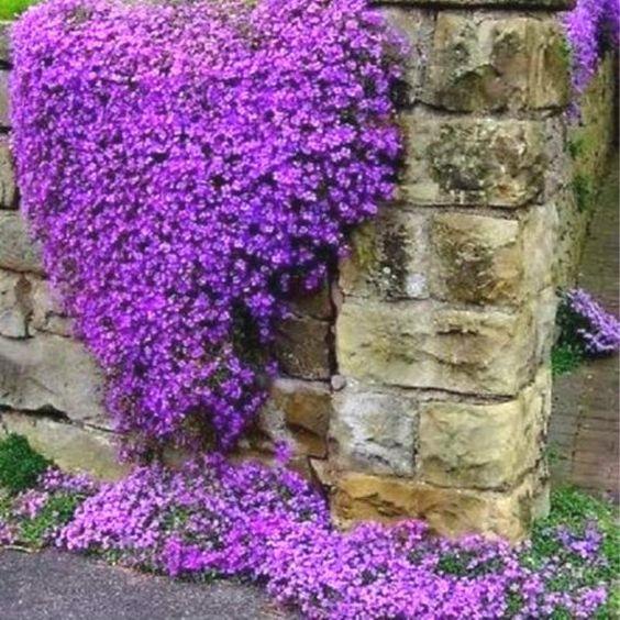 muro con arabis violesta