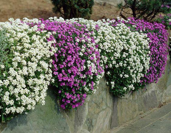 muro con planta de arabis colgando