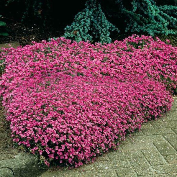 planta rastrera con flor Saponaria ocymoides