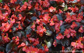 planta tapizante Begonia semperflorens