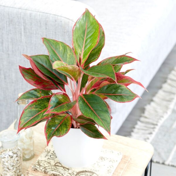 Aglaonema creta planta