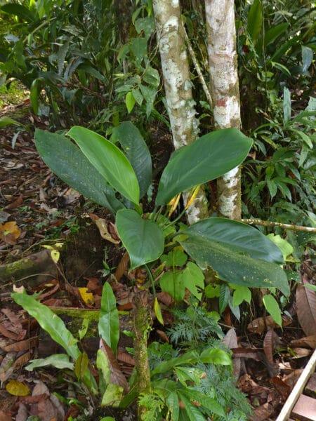 Aglaonema nitidum en jardin