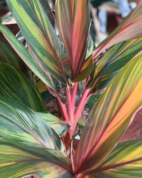Aglaonema rosa Arlequín