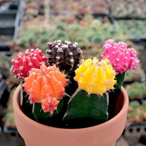 Cactus Luna Gymnocalycium mihanovichii