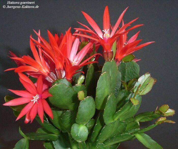 Cactus de Pascua Hatiora gaertneri