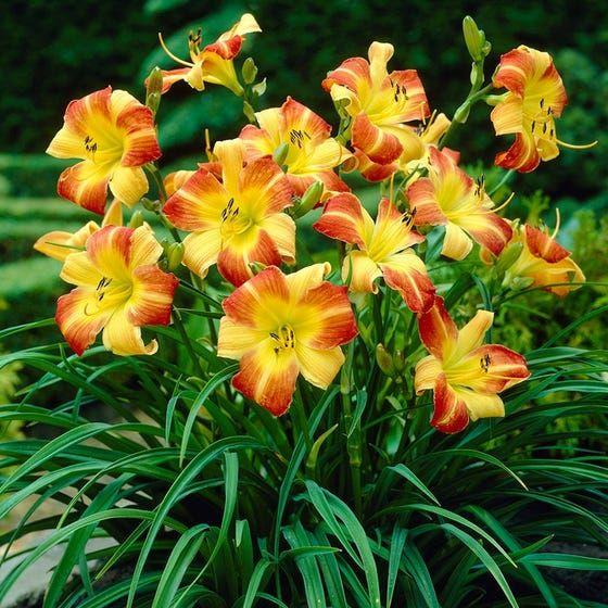 Daylily planta