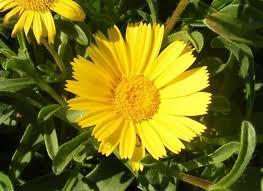 Margarita ASTERISCUS MARITIMUS flor amarilla