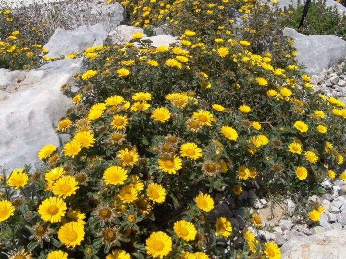 Margarita ASTERISCUS MARITIMUS planta en rocas