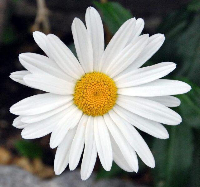 Margarita BELLIS PERENNIS blanca con centro amarillo