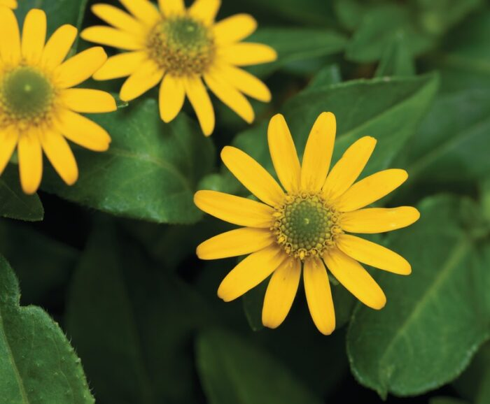 Margarita SANVITALIA SPECIOSA pequeña amarilla