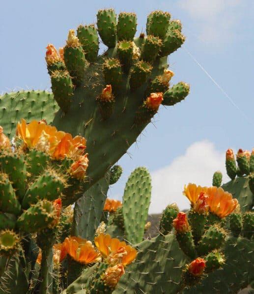 Nopal Opuntia flor naranja