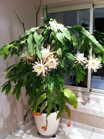 Reina de la noche Epiphyllum oxypetalum