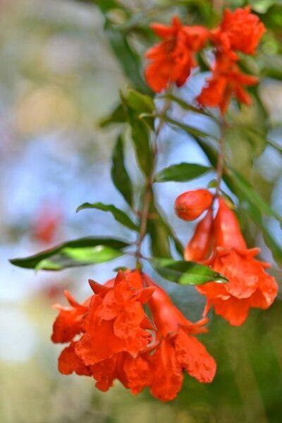 flor de la granada