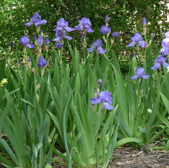 planta iris