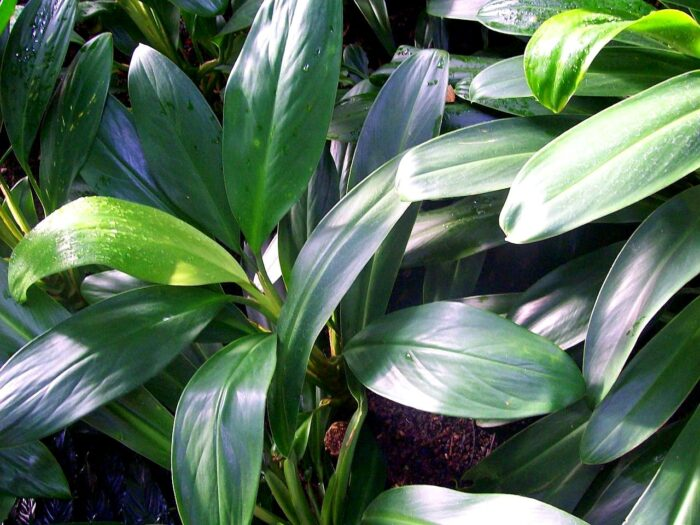 plantas Aglaonema nitidum