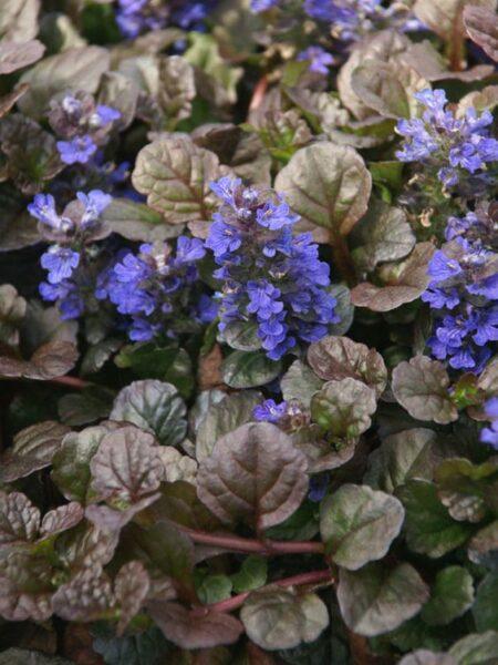 Ajuga Plantas colgantes resistentes al frío de exterior