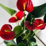 Anturio rojo flamenco