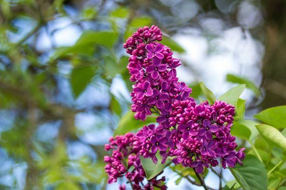 Arbusto lila comun flores con olor