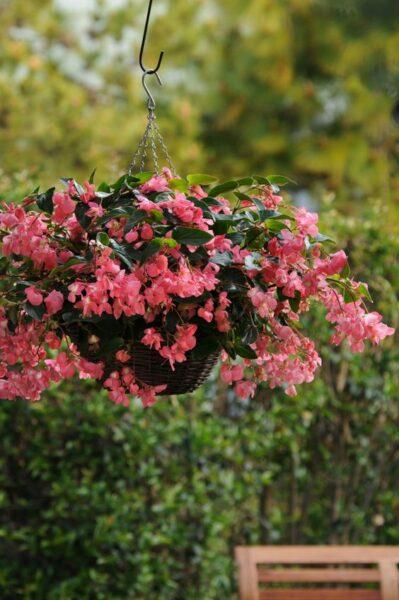 Begonia de alas de dragón planta colgante con flor de exterior para sol