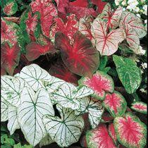 Caladios plantas para sombras