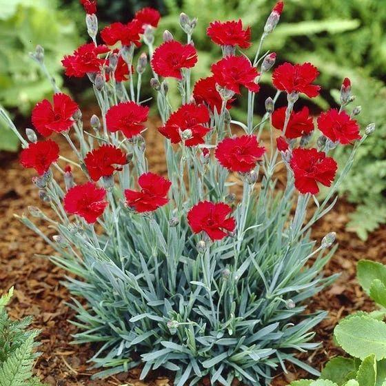 Dianthus bordo flores que huelen rico