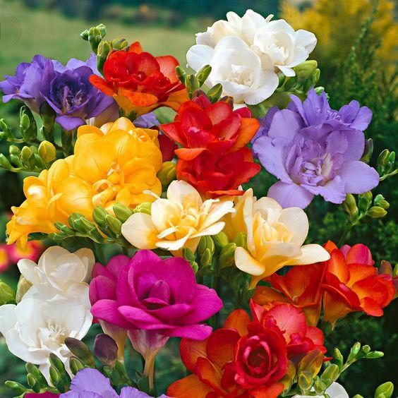 Fresias plantas con flores con olor