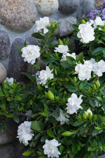Gardenia arbusto con flores blancas perfumadas