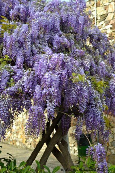 Glicina planta trepadora con flroes perfumadas