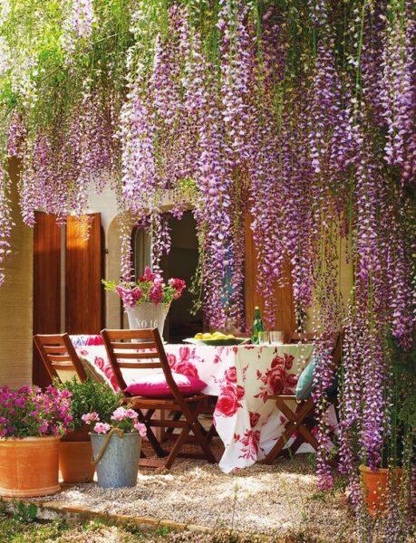 Glicinas plantas trepadoras con racimos de flores lilas