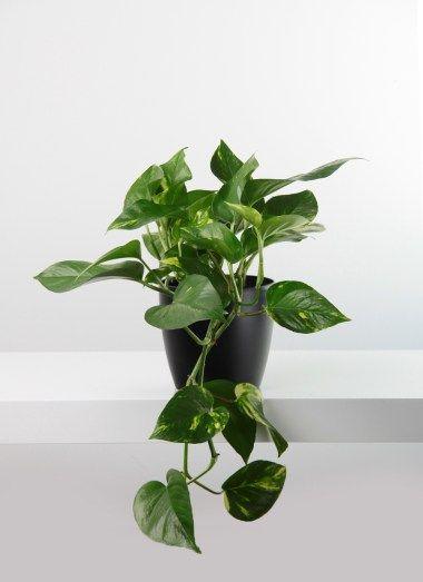 Golden Pothos planta colgante de interior