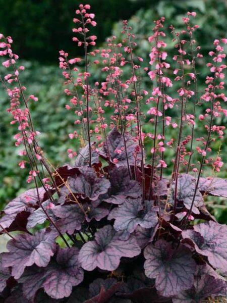 Heuchera Plantas colgantes resistentes al frío de exterior