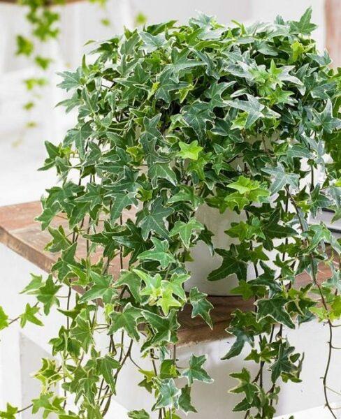 Hiedra inglesa planta colgante con de exterior para sombra
