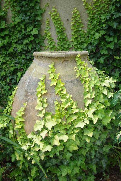 Hiedra inglesa plantas trepadoras